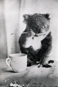 Pet koala drinks from a spoon, circa 1900, photographer F Davey, Australia