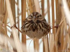 """A song sparrow hides in grasses until a Cooper's hawk leaves the area"".      photo & caption by Olivia Ambrogio"
