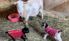 Two bucklings and one doeling arrived early Sunday morning - a sweet surprise! Read more at www.stowefarm.org
