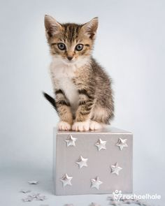 Voltaire (Domestic shorthair) - Voltaire is a star on stage!  (pic by Rachael Hale)