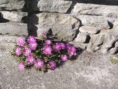 Fiori rosa tra le pietre- 2004 - OLYMPUS OPTICAL CO.,LTD