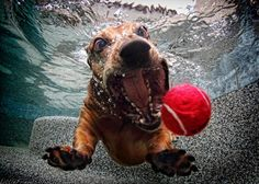 Funny Pictures Of Dogs Underwater By Seth Casteel (shared via SlingPic)