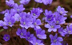 Photo - Hepatica nobilis