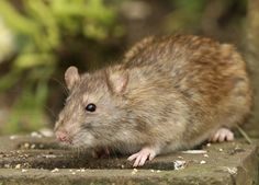 Urban gardeners battle the same set of pests and diseases that rural gardeners do with one wily addition rats. What kind of rat control can be practiced in city gardens to deal with the urban garden rat problem? Find out in this article.