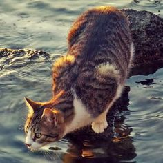 brown/white tabby on rocks at water's edge