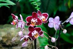 Replantar orquídeas Phalaenopsis e mantê-las saudáveis é fácil. Estas belas orquídeas requerem pouco tempo e esforço para exibirem sua beleza. Saiba mais