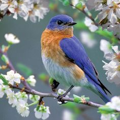 Our SC State bird is in nesting mode right now! We have bluebird nesting boxes in stock! Don't miss your opportunity to host one of these beautiful little families in your own yard this spring! Blue Bird, Colorful Pictures, Beautiful Birds, Pretty, Design, Blossoms, Wings, Nature, Birds