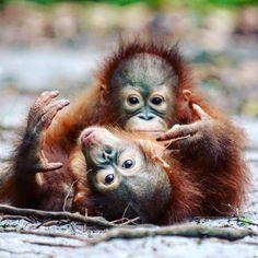 Look at them So adorable PLEASE help as to save the orangutan #orangutanodysseys