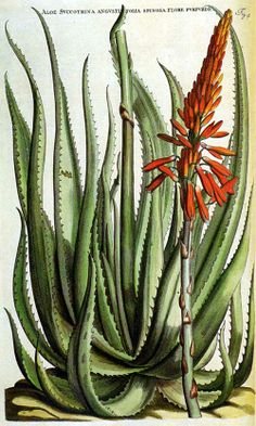 Aloe succotrina is included in Horti Medici Amstelodamensis Rariorum. The project was conceived by Johannes Commelin and publish. Vintage Botanical Prints, Botanical Drawings, Botanical Art, Vegetable Illustration, Plant Illustration, Historia Natural, Cactus Art, Nature Prints, Science Art