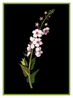 Purple Mullein Flower by Mary Delany Counted Cross Stitch or Counted Needlepoint Pattern