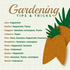 Essential oils have so many uses. No harsh chemicals they are natural alternatives for safe gardening. www.soulcitywellness.com