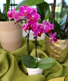 purple miniature orchid