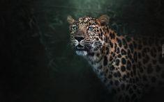 Leopard, Lampart, Rozmyte, Tło