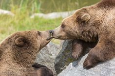 One fly and two brown bears - Two Eurasian brown bear (Ursus arctos arctos) resting on a rock, rocks and green forest trees in the background. Kissing each other intensely.