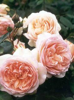 Perdita - English rose - Perfekte Blüten in apricot-weißlichem Rosa mit exzelentem Myrreduft. Kleine Strauchrose für Rabatten und Beetrose mit glänzendem Laub.