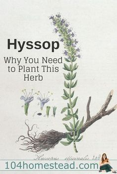 Hyssop (Hyssopus officinalis)is a member of the mint family and you'll want to make room for it in your herb garden this year.