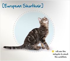 European Shorthair cats originated in Sweden before making their way through the rest of Europe. Similar to the American Domestic Shorthair cat, they developed naturally, with no specific breeding rules. In other parts of Europe, the European Shorthair was crossed with Persian cats, but Scandinavian breeders avoided this trend, preferring to stick with domestic cats as breeding stock.