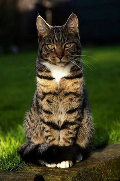 Cat Care Kittens What a beautiful tabby cat Animal Gato, Mundo Animal, Warrior Cats, Pretty Cats, Beautiful Cats, Cat Anime, Animals And Pets, Cute Animals, Chat Maine Coon