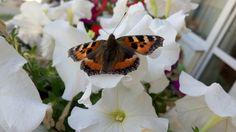 Крапивница, бабочка, семейство Нимфалиды