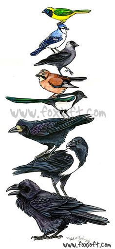 Ravens, crows, rooks, jays, and their kin - the corvids!  $15 Birdstack prints available: http://foxloft.com/image/corvidstackweb