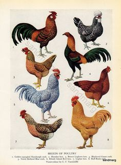 Breeds of Poultry Chart by C F Tunnicliffe Original Vintage Lithograph for Framing Chickens And Roosters, Pet Chickens, Raising Chickens, Chickens Backyard, Chicken Painting, Chicken Art, Ave Tattoo, Zoo 2, Humming Bird Feeders