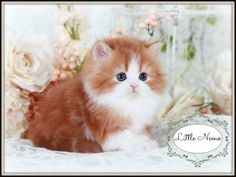 Red & White Bi-Color Teacup Persian Kitten
