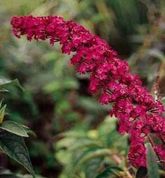 Buddleja davidii 'Royal Red' - Butterfly Bush Pot Size *** Read more info by clicking the link on the image. Deer Resistant Garden, Deer Resistant Perennials, Plants That Attract Butterflies, How To Attract Hummingbirds, Attracting Hummingbirds, Buddleja Davidii, Hummingbird Garden, Border Plants, Plants
