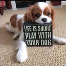 King Charles Spaniel, Cavalier King Charles Dog, Cute Puppies, Cute Dogs, Spaniel Puppies, Dog Rules, Dog Life, Dog Pictures, I Love Dogs