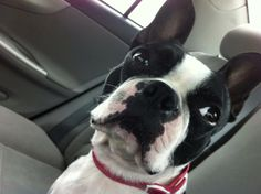 Pebbles Loves going Bye Bye in the Car - http://www.bterrier.com/pebbles-loves-going-bye-bye-in-the-car/