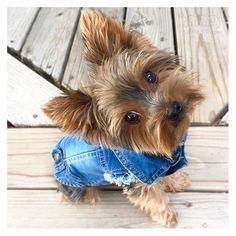 TGIF!!!! Kloe wants to extend her cuteness for your Friday! Model: Kloe@therealkloek Jean jacket info www.unitedpups.com/jacket #jeans#denimvest#denim#jeanjacket#fashion#style#maltese#frenchie#shihtzu#poodle#pomeranian#chihuahua#beagle#yorkie#pug#dachshund#jackrussell#corgi#puppy#dog#pet#puppylove#stylishdog#unitedpups#cool#tgif #friday #weeklyfluff