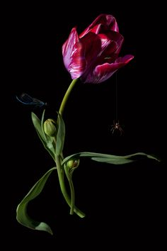Tulip - Bas Meeuws : Contemporary Still Life Photography With The Flourish Of A Dutch Master Painter. The Contrast In The Image Amplifies It's Drama And Effectiveness. Botanical Illustration, Botanical Prints, Parrot Tulips, Still Life Photography, Photography Flowers, Flower Pictures, Black Backgrounds, Flower Art, Pink Flowers