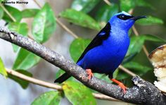 Saíra-beija-flor macho (Cyanerpes cyaneus) | Flickr - Photo Sharing!