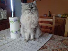 #persiancat #chinchillacat #gattichinchilla #gattipersiani #beautifulcats #gattibellissimi #RomeoilGattoPersiano #persianogrigio #silverpersian #cat11months