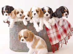 Cavalier King Charles Spaniel - bucket o' puppies. My breed.