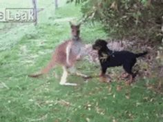 Kangaroo And Rottweiler Become Friends