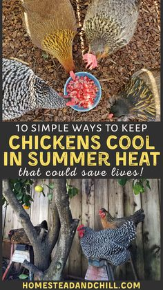 Did you know that extreme heat is more life-threatening to chickens than cold conditions? Thankfully, there are many simple ways to keep chickens cool and safe during hot summer weather - including providing shade, water, and the right treats. Read along to learn more! #chickens #backyardchickens #chickentips #urbanhomestead #homestead Keeping Chickens, Raising Chickens, Chicken Lady, Keto Chicken, Healthy Chicken, Grilled Chicken, Baked Chicken, Chicken Recipes, Chicken Facts