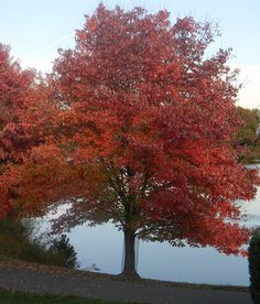 Acer rubrum (Red Maple, also known as Swamp, Water or Soft Maple) Deciduous Trees, Trees And Shrubs, Trees To Plant, Tree Planting, Acer Rubrum, Maple Tree Seeds, Red Maple Tree, Autumn Blaze Maple, Fast Growing Trees