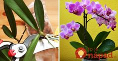 Pestujete doma orchideu? Takto jednoducho si ju môžete rozmnožiť! :-) Some Ideas, Gardening Tips, House Plants, Home And Garden, Christmas Ornaments, Holiday Decor, Diy, Anna, Flower