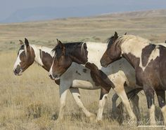 Teton herd is generally made up of pintos and appys