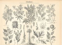 Natural Dye Plants -Antique Black and White Botanical Lithograph 1894 | eBay