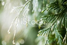 Water droplets on a cedar tree Royalty Free Stock Photo