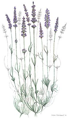 lavender botanical drawing tattoo of lavender ladybugs*** Botanical Drawings, Botanical Illustration, Botanical Prints, Lavender Tattoo, Wildflower Tattoo, Kraut, Tattoo Drawings, Drawing Sketches, Vintage Posters