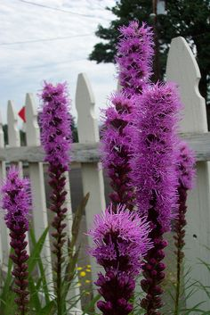 Liatris - Blazing-star/ Gay-feather /Button snakeroot