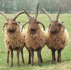 mountain goats - Bing Images