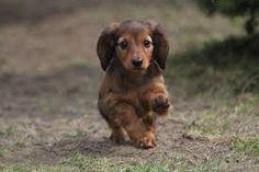 JEZEVČÍK DLOUHOSTRSTÝ Jezevčík je moc milý pejsek... Je to všežravec, žije v domácnosti a také se využívají jako lovecké psy. Nevyroste do moc velké velikosti a zůstává roztomilý.. Ne nadarmo se říká, že PES JE NEJLEPŠÍ PŘÍTEL ČLOVĚKA... :*