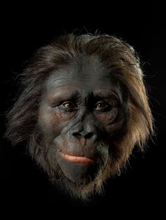 Australopithecus Afarensis ~ I have often wondered why primates were the only species to evolve a huge brain and rise above all animals to rule the world as humans. Why wasn't it a cephalopod or a marine mammal, like a dolphin... both are very intelligent creatures?