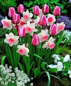 pink tulips and white and pink daffodils. tulipanes y narcisos Bulb Flowers, Beautiful Flowers, Exotic Flowers, Purple Flowers, Daffodil Flower, Daffodil Bulbs, Tulip Bulbs, Cactus Flower, Spring Bulbs
