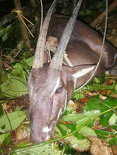 A Saola (pseudoryx nghetinhensis) is seen in a village in Bolikhamxay province in this handout photo dated August 2010. This is the first co...