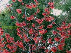 Diane (Hamamelis x intermedia) Witch Hazel  is a deciduous shrub that is winter hardy to zone 5. It produces profuse, fragrant red blooms on bare branches as early as February for 6-8 weeks. Foliage turns bright orange-red in the fall. Plant in full to part sun.