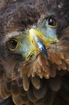 #bateleur #eagle.by*Evey-Eyes